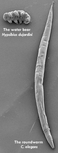 Tardigrade : Toughest animal on earth Water Bear Size Comparison